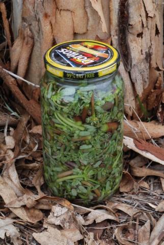 Pickled pig weed (Portulaca olercea)