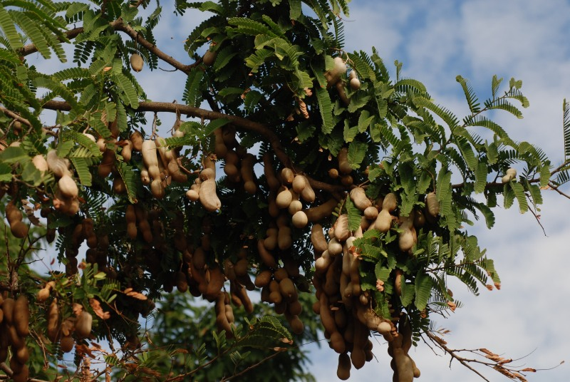 tamarind tree fruit, Beautiful flower