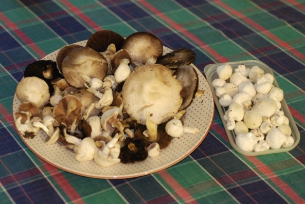Agaricus sp. & Lycoperdon sp.