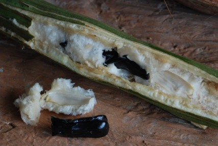 Ice Cream Bean (Inga edulis) (Edible)