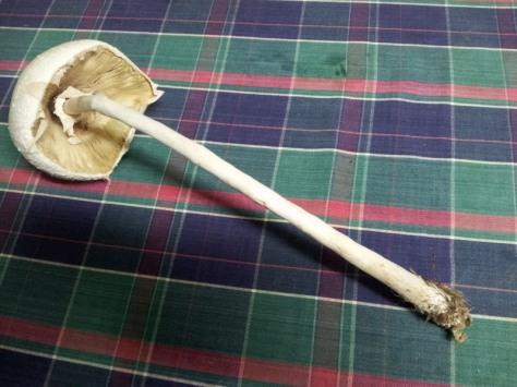 Slender Parasol Mushroom (Macrolepiota mastoidea)