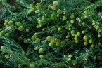 Pineapple weed (Matricaria discoidea)