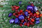 Native blue berries (Billardiera sp.) & Native cherries (Exocarpos cupressiformis)