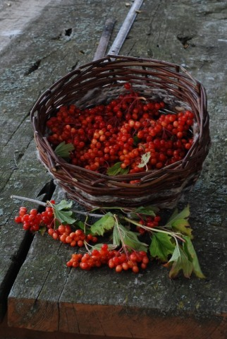 Guelder rose (Viburnum opulus) berries
