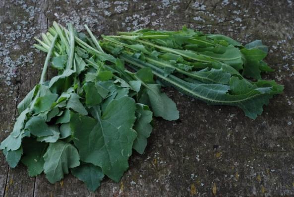 Puha (Sonchus sp.) n Prickly lettuce (Lactuca serriola)