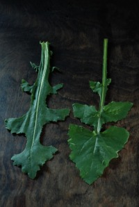 Puha (Sonchus sp.) n Prickly lettuce (Lactuca serriola) leaf comparison FRONT