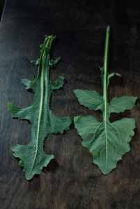 Puha (Sonchus sp.) n Prickly lettuce (Lactuca serriola) leaf comparison BACK