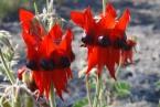 Swainsona formosa, Sturt's Desert Pea,