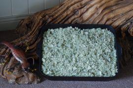 Verbascum thapsus (Mullein)