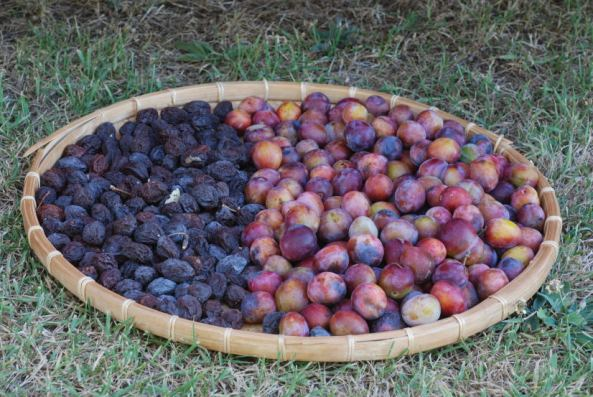 Prune plums fresh n sun dried